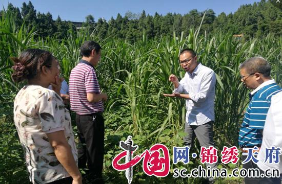 遂宁市农业局考察射洪甜象草种植情况