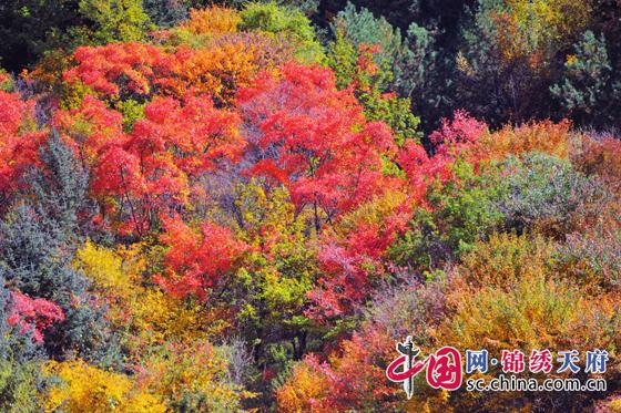 松树,柏树,枫树等上百种树的色彩开始转变,还有不同色彩的针叶林,阔叶
