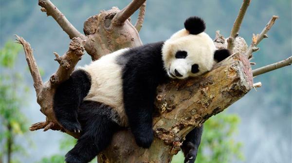 国宝大熊猫四川享受秋日时光