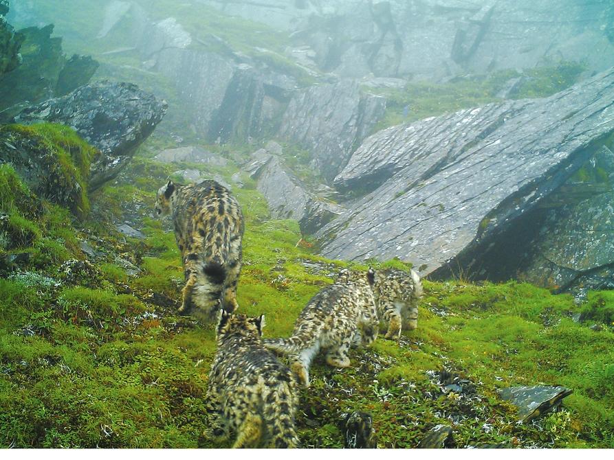 """11月4日,由省林業廳主辦的""""首屆橫斷山雪豹保護行動研討會""""在都江堰舉行,來自雪豹研究領域的國內專家、各大保護組織及四川雪豹重點分佈自然保護區的負責人參會,就橫斷山雪豹保護現狀及監測經驗進行了深入交流。四川臥龍自然保護區在會議上公佈了過去一年雪豹調查收穫的重要數據——四川第一次獲取了珍貴的4隻雪豹""""同框照"""";在臥龍保護區約132平方公里的雪豹棲息地內,最少有26隻雪豹出沒。   驚喜   雪豹一家一母三子首次同框亮相   大橫斷山"""