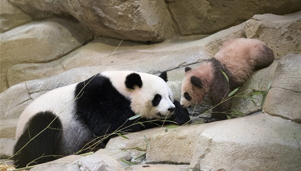 """超治愈!旅法大熊猫""""圆梦""""最新萌照来啦(组图)"""