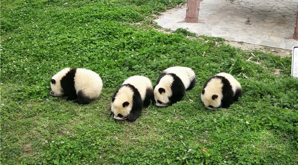 探访中国大熊猫保护研究中心 震后放归8只大熊猫