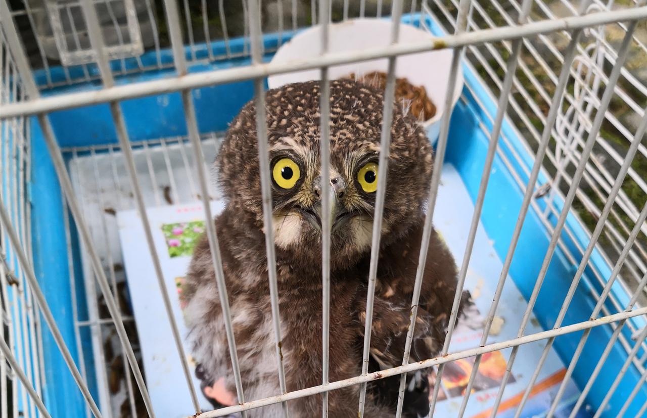 眉山一市民捡到一只小猫头鹰 东坡区林业局热心救助