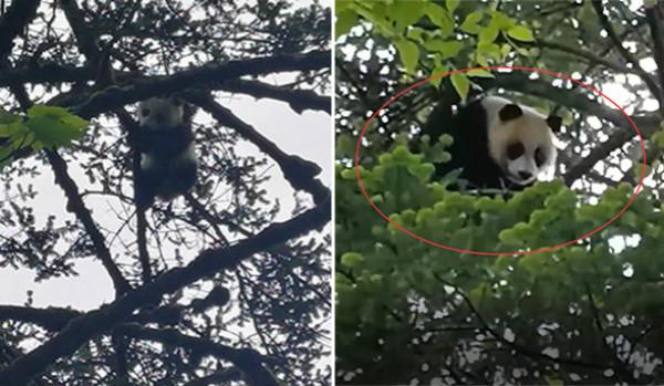 """卧龙顽皮野生熊猫宝宝爬树""""不怕生"""" 科考队员偶遇拍下珍贵一幕"""