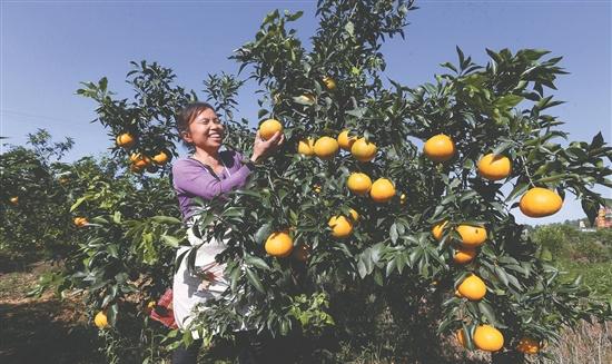 四川青神:万亩柑桔迎来丰收季