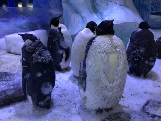 同时,即便是成功受精的蛋,离开了企鹅妈妈的照顾和孵化,其对孵化的条件也非常苛刻。目前两枚弃蛋正在接受人工孵化,孵化器的温度24小时恒定为35.5摄氏度,湿度则保持在56%,并且每24小时都会随机翻动9次,用这样的形式来模拟自然孵化,如果顺利45天小企鹅就会破壳而出,这样成都海昌极地海洋公园或将成为西南地区首个成功进行人工孵化极地企鹅的海洋公园,后期我们也将继续跟进这两枚蛋宝宝的孵化状况,一旦有好消息,也将第一时间和大家分享。