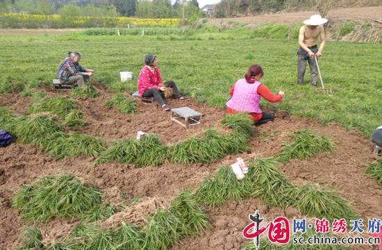 射洪涪西镇:产业引领致富路 麦冬丰收助脱贫