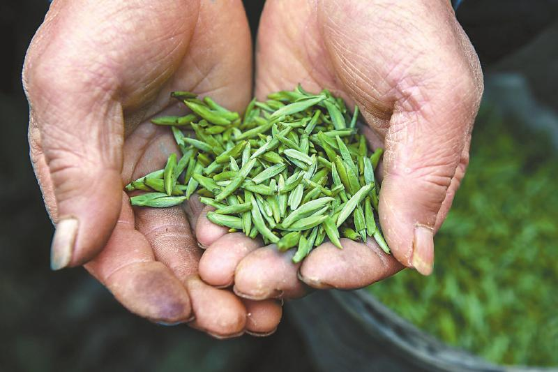 回乡创业 农民工变身制茶师