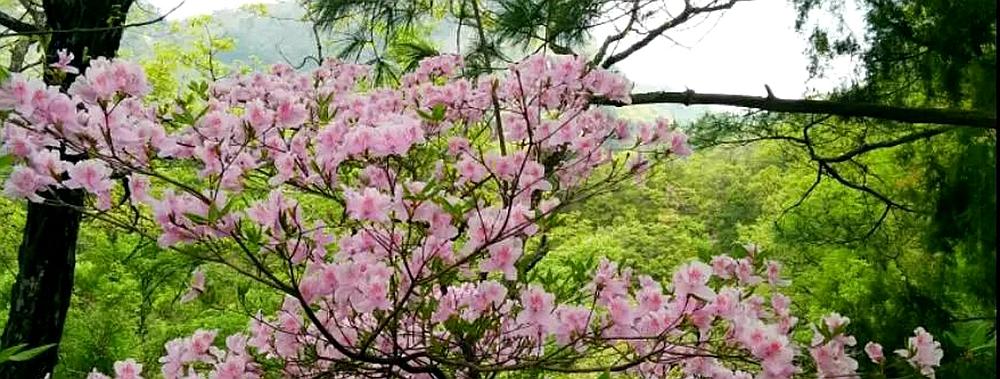四川旺苍首届高山杜鹃花赏花节本月18日启幕
