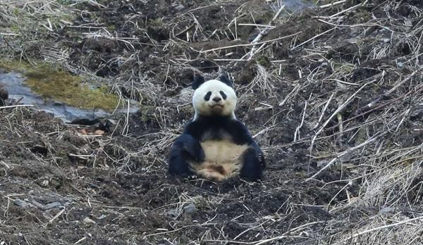"""打坐""""修行"""",黄龙""""佛性""""大熊猫笑得我肉疼!"""