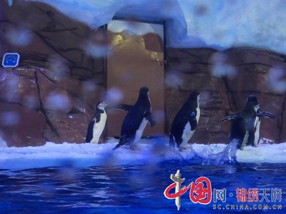 成都极地海洋公园升级改造后的企鹅馆预计将于