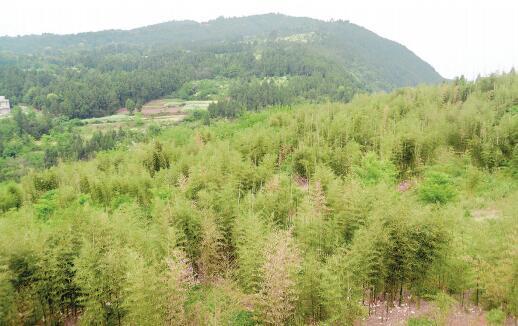 中江富兴镇种下一片竹林 带富一方百姓