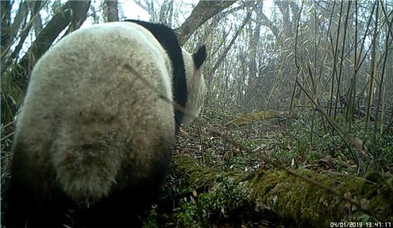 德阳绵竹市首次拍摄到活体野生大熊猫活动影像