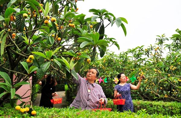黄许镇:千亩五星枇杷成熟 采摘尝鲜正当时