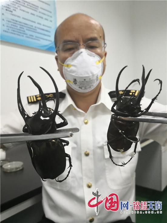"""成都海关在国际邮件中截获""""南洋大兜虫""""和""""黄金鬼锹"""""""
