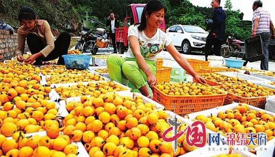 阆中市飞凤镇桥亭村大力发展枇杷产业