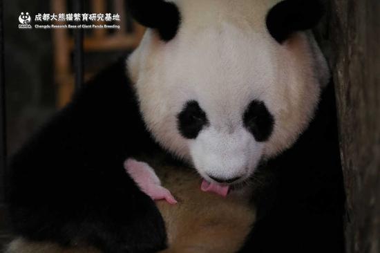 全球最小熊猫幼仔在成都出生 不足一颗鸡蛋重