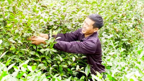 村民采油茶 心里乐开花