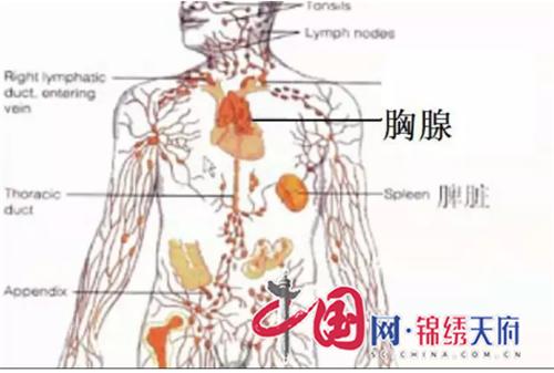 2  胸腺解剖图.png