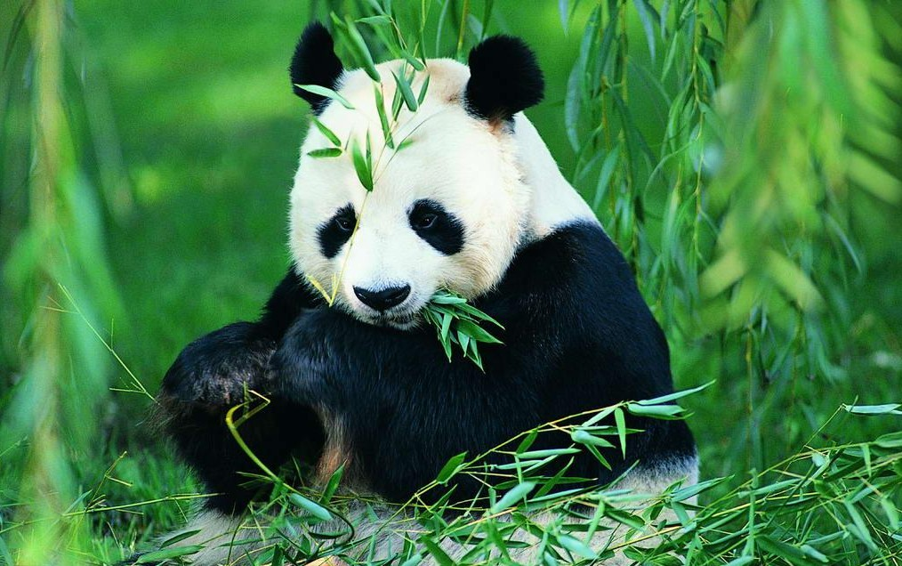 广安市华蓥山大熊猫基地